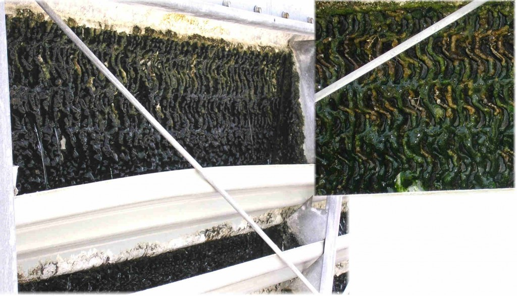Algae in Cooling Tower